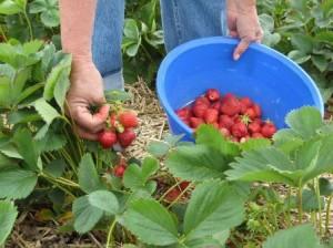 Recogida de fresas en Huelva.
