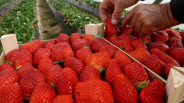 Plantación de fresas en el término de Almonte. (Julián Pérez).