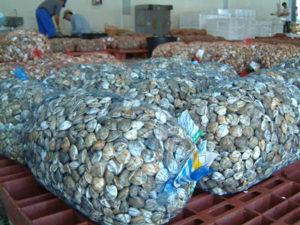 Sacos de chirlas en la longa de Isla Cristina.