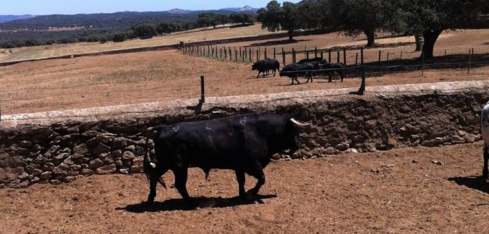 'Oloroso', toro de Gerardo Ortega indultado en Cala.
