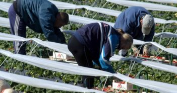 Inmigrantes del este de Europa trabajan en la recogida de la fresa. (A. L. Delgado)