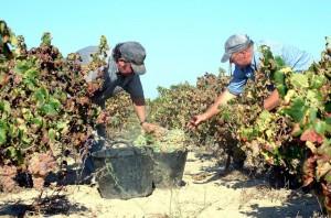 Recolección de uva en el Condado de Huelva.