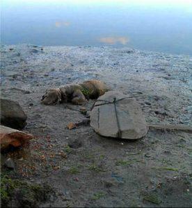 El animal amarrado a la piedra.