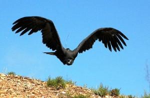 Buitre negro en Sierra Pelada.