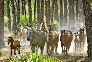 El ganado marismeño ha sido conducido por el interior del Parque dejando bellas estampas. (Julián Pérez)