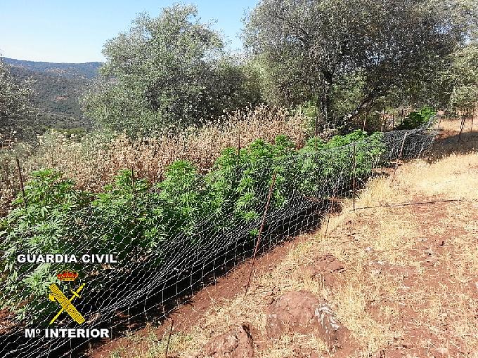 La guardia civil descubre una plantaci n de marihuana en cortegana - Plantaciones de marihuana interior ...