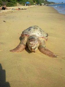 Tortuga muerta que ha aparecido en la playa de Ciparsa en Mazagón.