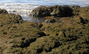 Algas en la playa de Punta Umbría.