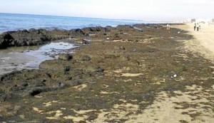 Las algas se concentran en un frente de playa de no más de un kilómetro.