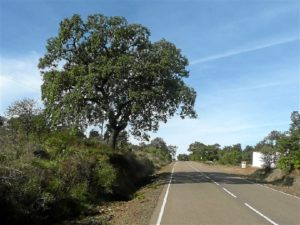Una de las encinas cuyas ramas se adentran en la carretera.