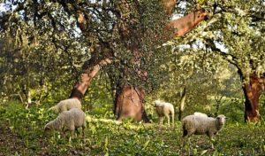 Ovejas en un bosque de la Sierra de Huelva. (Julián Pérez)