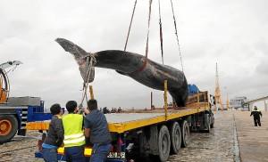 ballena Huelva-07