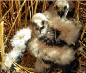 pollos de aguilucho cenizo
