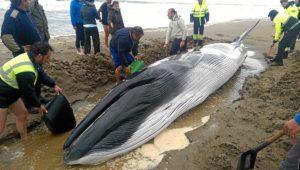La ballena muerta en Ayamonte.