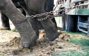 Elefantes encadenados en un circo