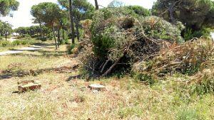Foto Tala de pinos en Cartaya 2