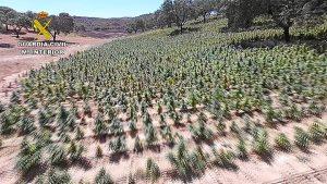 Plantas de marihuana en El Cerro (1)